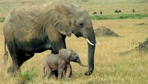 elephants-620
